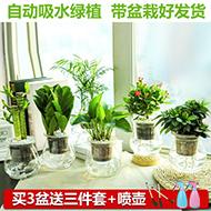 绿萝水养植物富贵竹室内盆栽