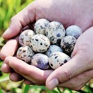 农家散养新鲜生鹌鹑蛋50枚