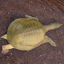 千岛湖3-4年生态甲鱼活体1只