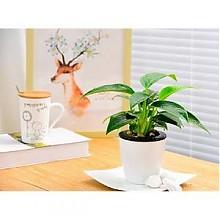 喜艾 绿萝发财树等 室内水培盆栽
