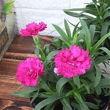 康乃馨植物盆栽